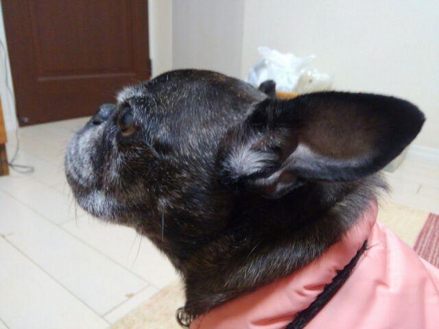 フレブル×パグ=MIX犬 今日のゆずこさん!「おい!エサくれや~!!」