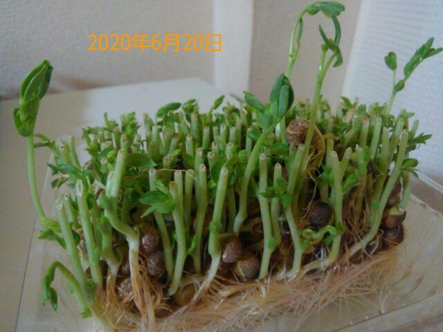 豆苗の再生栽培は何回?豆苗の成長はめっちゃ早い!経時的にみてみよう!!1