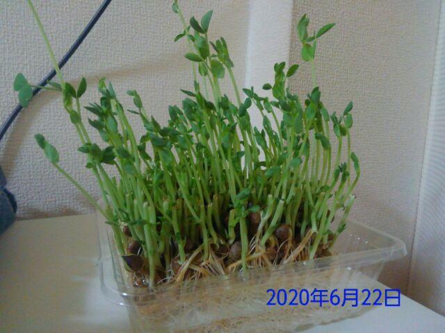 豆苗の再生栽培は何回?豆苗の成長はめっちゃ早い!経時的にみてみよう!!9