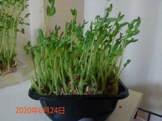 豆苗の再生栽培は何回?成長が早すぎて笑!収穫祭りはもうすぐだ!!2