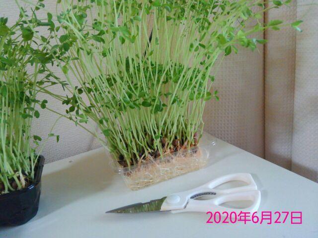 豆苗の再生栽培は何回? 1回目収穫、夕食でいただきました!2