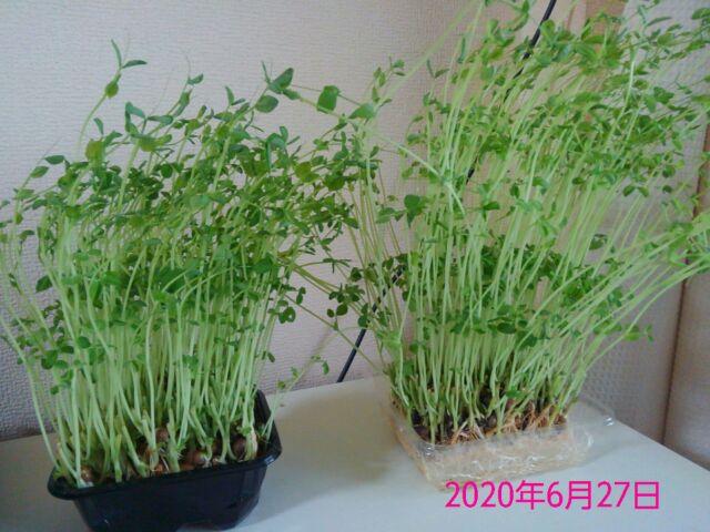 豆苗の再生栽培は何回? 1回目収穫、夕食でいただきました!1
