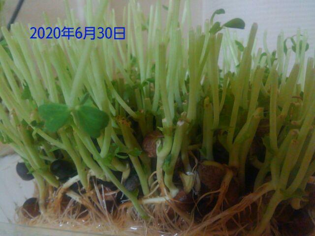 豆苗の再生栽培は何回?2回目の収穫、コバエの大群に断念「画像で成長具合を確認してみよう」2