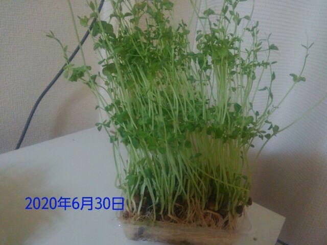 豆苗の再生栽培は何回?2回目の収穫、コバエの大群に断念「画像で成長具合を確認してみよう」1