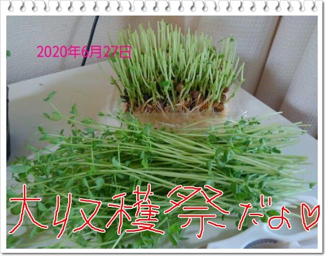 豆苗の再生栽培は何回? 1回目収穫、夕食でいただきました!